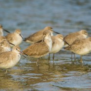 Willets in Waves