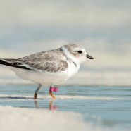Find Marked Piping Plovers