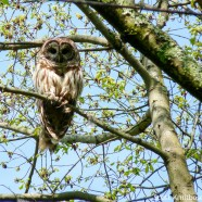 Diurnal Barred Owl