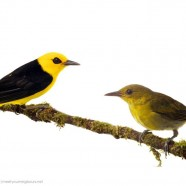 Black-and-Yellow Tanager Pair (Chrysothlypis chrysomelas)