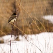 Eastern Phoebe Wet & Cold