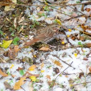 Fox Sparrows Moving