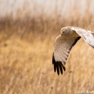 Gray Ghost Northern Harrier
