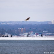 Northern Harrier in the Snow and Sky