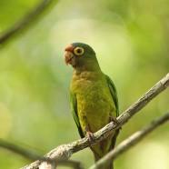 Orange-fronted Parakeet (Eupsittula canicularis)