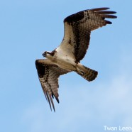 Return of the Osprey