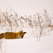 Red Fox Entering Snowy Den
