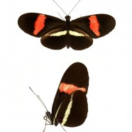 Red Postman (Heliconius erato) Butterfly