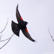Red-winged Blackbird Male in Flight