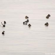 Ring-necked Duck Hiding