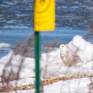 Snowy Owls Still Here