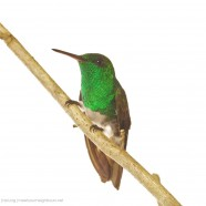 Snowy-bellied Hummingbird (Amazilia edward)
