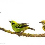 Tanager Trifecta