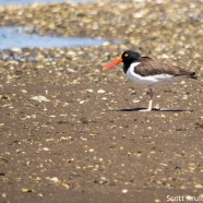 American Oystercatchers Relaxing