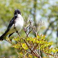 Intimidating Eastern Kingbird