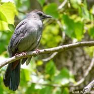 Gray Catbirds Coming