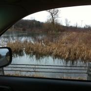 Great Egrets in Ashville