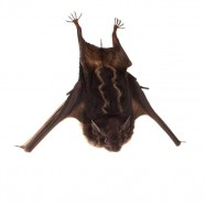 Lesser Sac-winged Bat (Saccopteryx leptura)