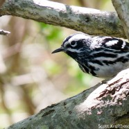 Black-and-white Warblers
