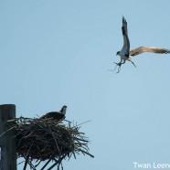 Osprey Nest Building