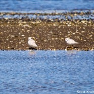 Slow Piping Plovers