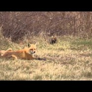 Red Fox Family Video