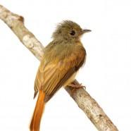 Ruddy-tailed Flycatcher (Terenotriccus erythrurus)