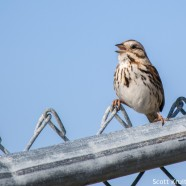 Song Sparrows Singing