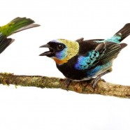 Talking Tanagers