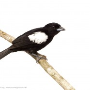 White-shouldered Tanager (Tachyphonus luctuosus)