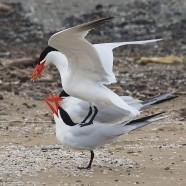 Caspian Tern Courtship