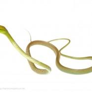 Cope's Vine Snake (Oxybelis brevirostris)