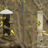 Feeder Finches
