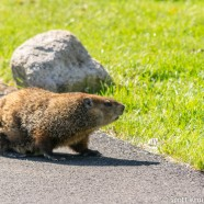 Groundhog Crossing