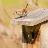 House Wren at Home
