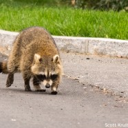 Raccoon Patrol