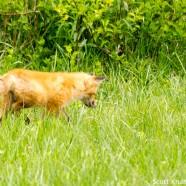 Fox Kit Exploration