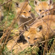 Red Fox Kits Growing