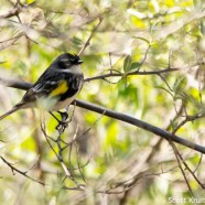 Yellow-rumped Warbler Hiding