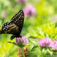 Busy Black Swallowtail
