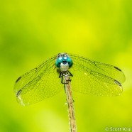 Blue Dasher Stare