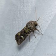 Bristly Cutworm (Lacinipolia renigera)