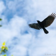 Fish Crow Marauders