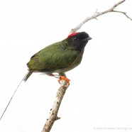 Long-tailed Manakin Aging