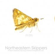 Northeastern Skippers