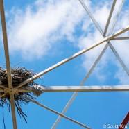 Towering Osprey