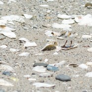 Piping Plover Hatchlings & WildLife Guards