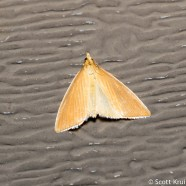 Streaked Orange Moth (Nascia acutella)