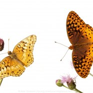 Variegated Fritillary (Euptoieta claudia) and Great Spangled Fritillary (Speyeria cybele)