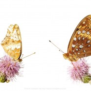 Variegated & Great Spangled Fritillaries